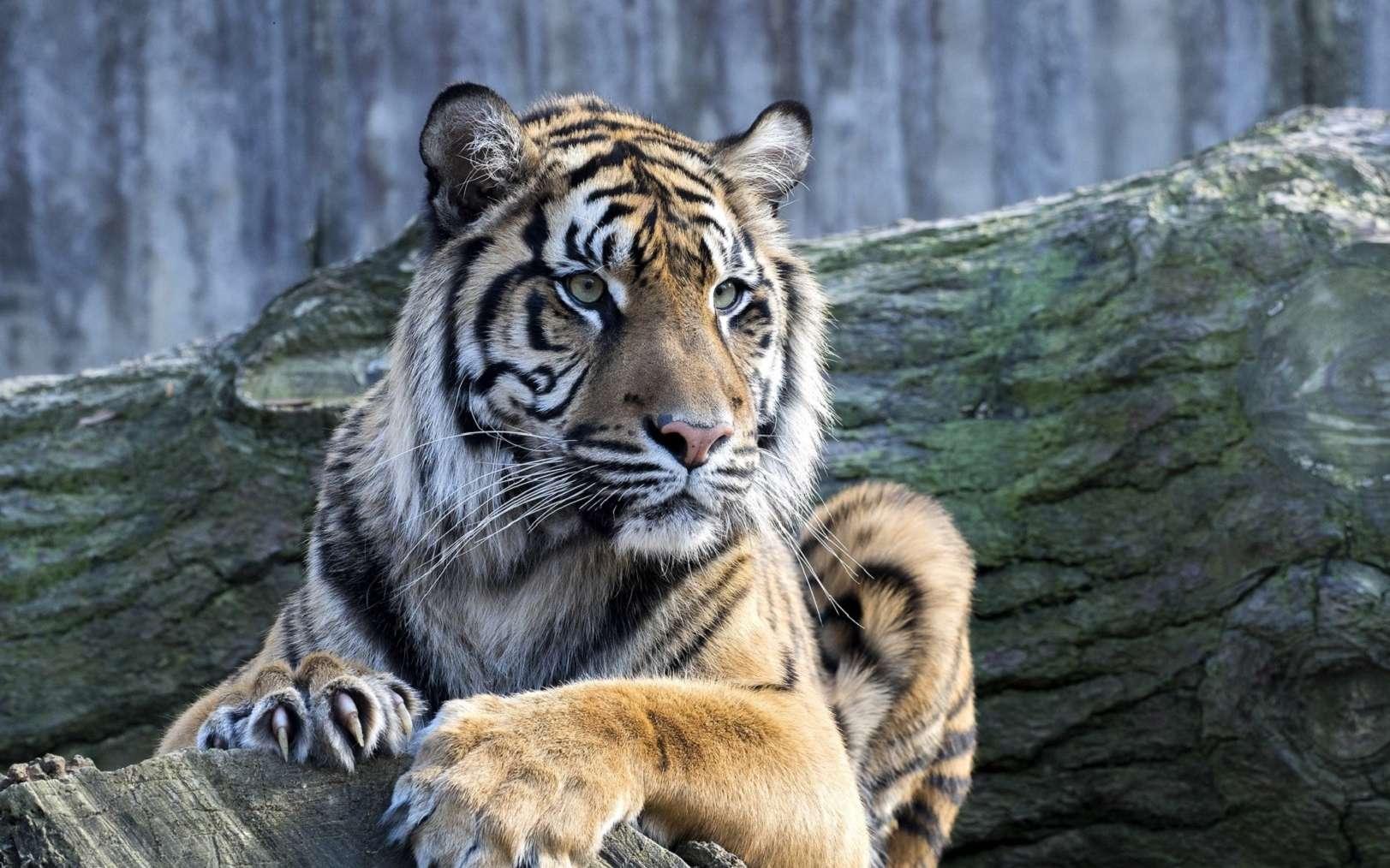 Le tigre de Sumatra est menacé d'extinction à cause de la déforestation. © vladislav333222, Fotolia