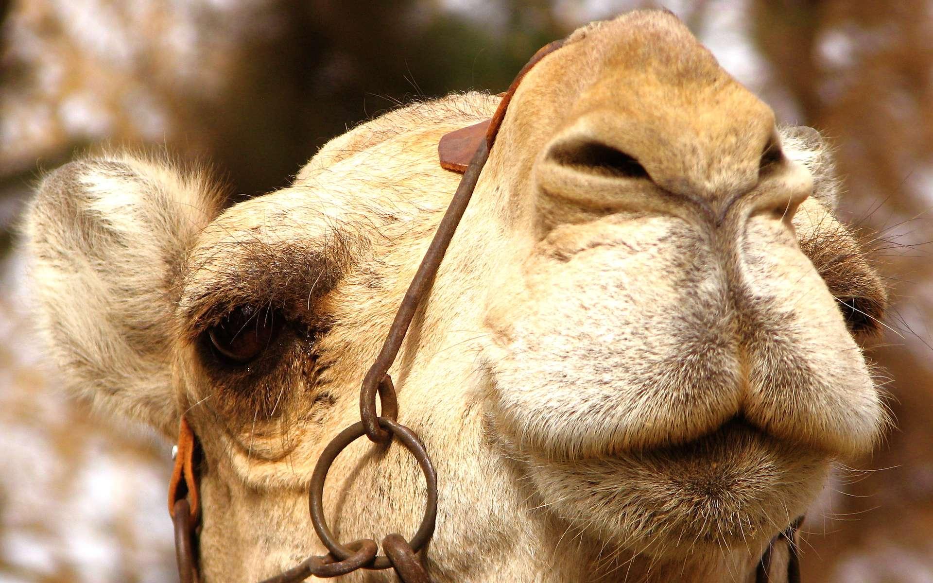 Une nouvelle maladie à prion touche les chameau en Afrique du nord. © Jennifer D, Filckr, licence CC