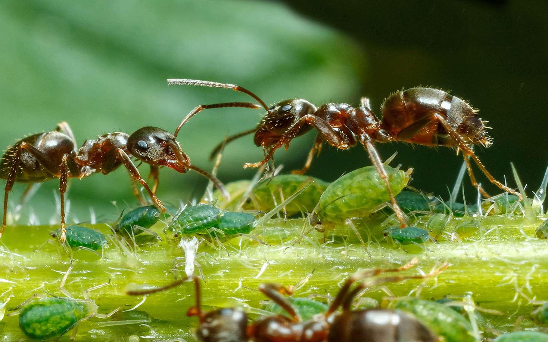 Il n'est pas rare, comme sur cette photo, de trouver des fourmis qui se promènent sur des plantes où sont installés des pucerons. C'est que les pucerons apprécient les sèves riches en sucre. Ce qui donne à leurs déjections – que l'on appelle le miellat -, un goût dont les fourmis raffolent. Et au-delà de fréquenter les mêmes plantes, les fourmis vont même jusqu'à élever les pucerons comme nous le faisons avec le bétail. Elles éloignent certains prédateurs et veillent à la propreté des colonies. Il leur arrive aussi d'aider les pucerons à se déplacer lorsque la sève vient à leur manquer. © Szasz-Fabian Jozsef, Fotolia