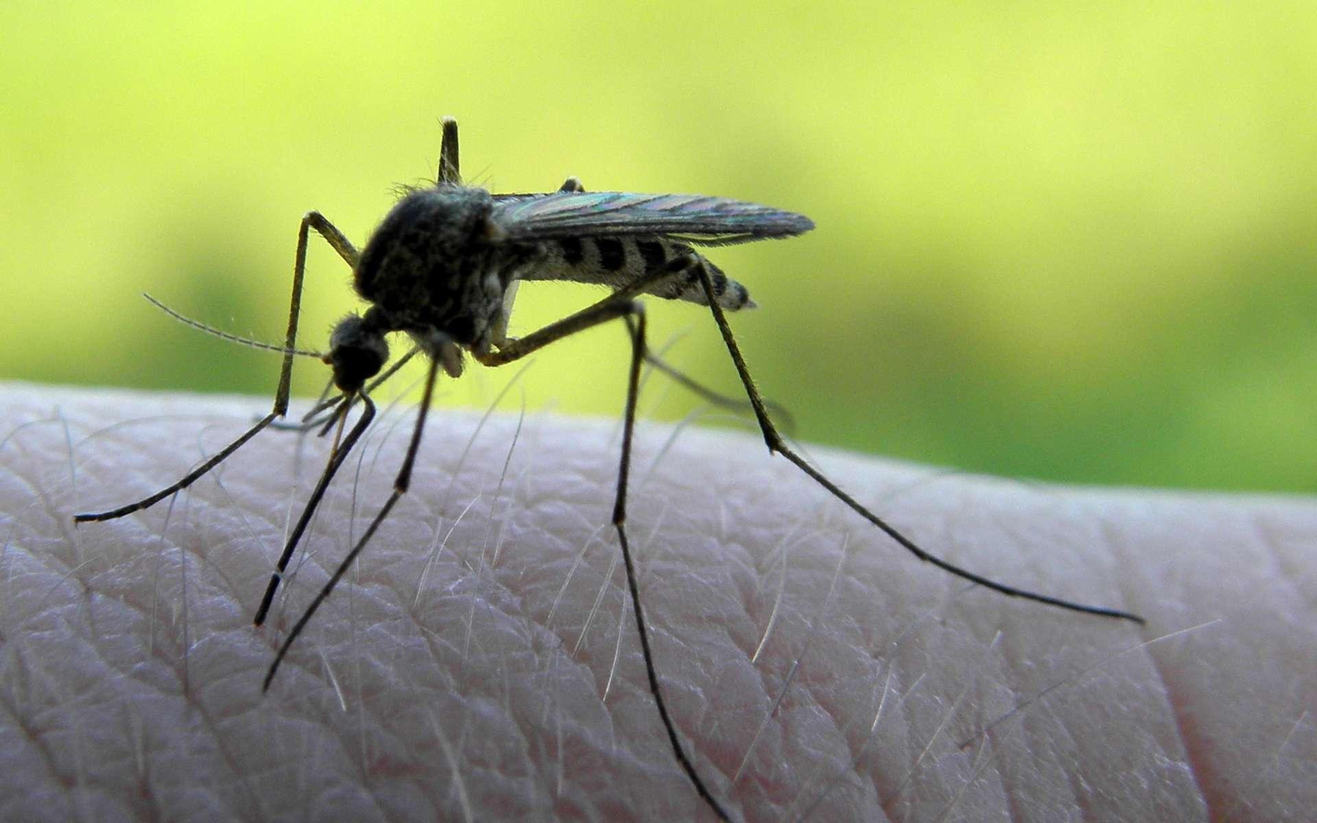 Les moustiques, qui sont des insectes, font partie des invertébrés. © Tomasz Jagliski, Flickr, cc by nc sa 3.0