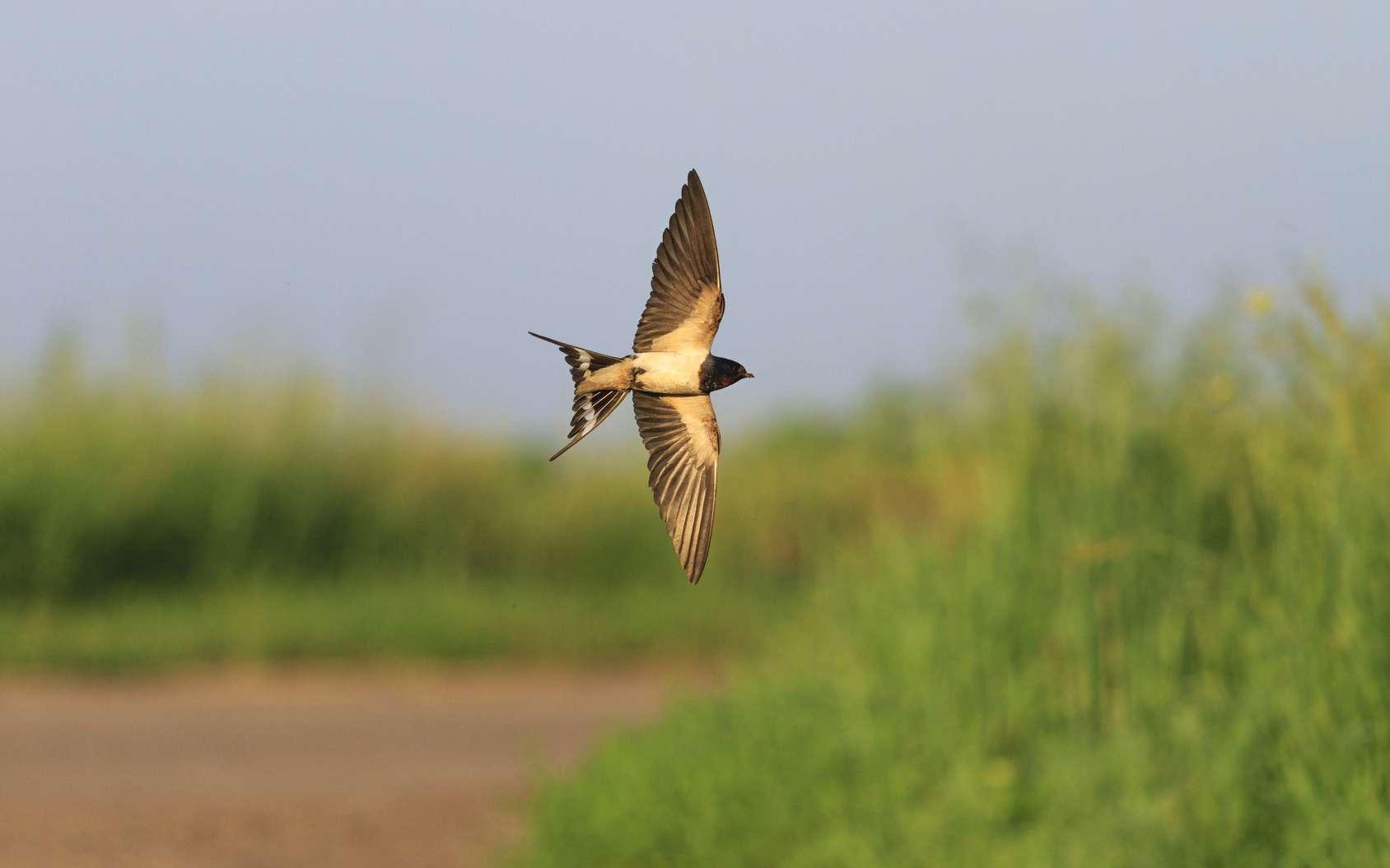 Les hirondelles ne se nourrissent que de moucherons, lesquels disparaissent à mesure que l'utilisation des pesticides augmente. © drakuliren, fotolia