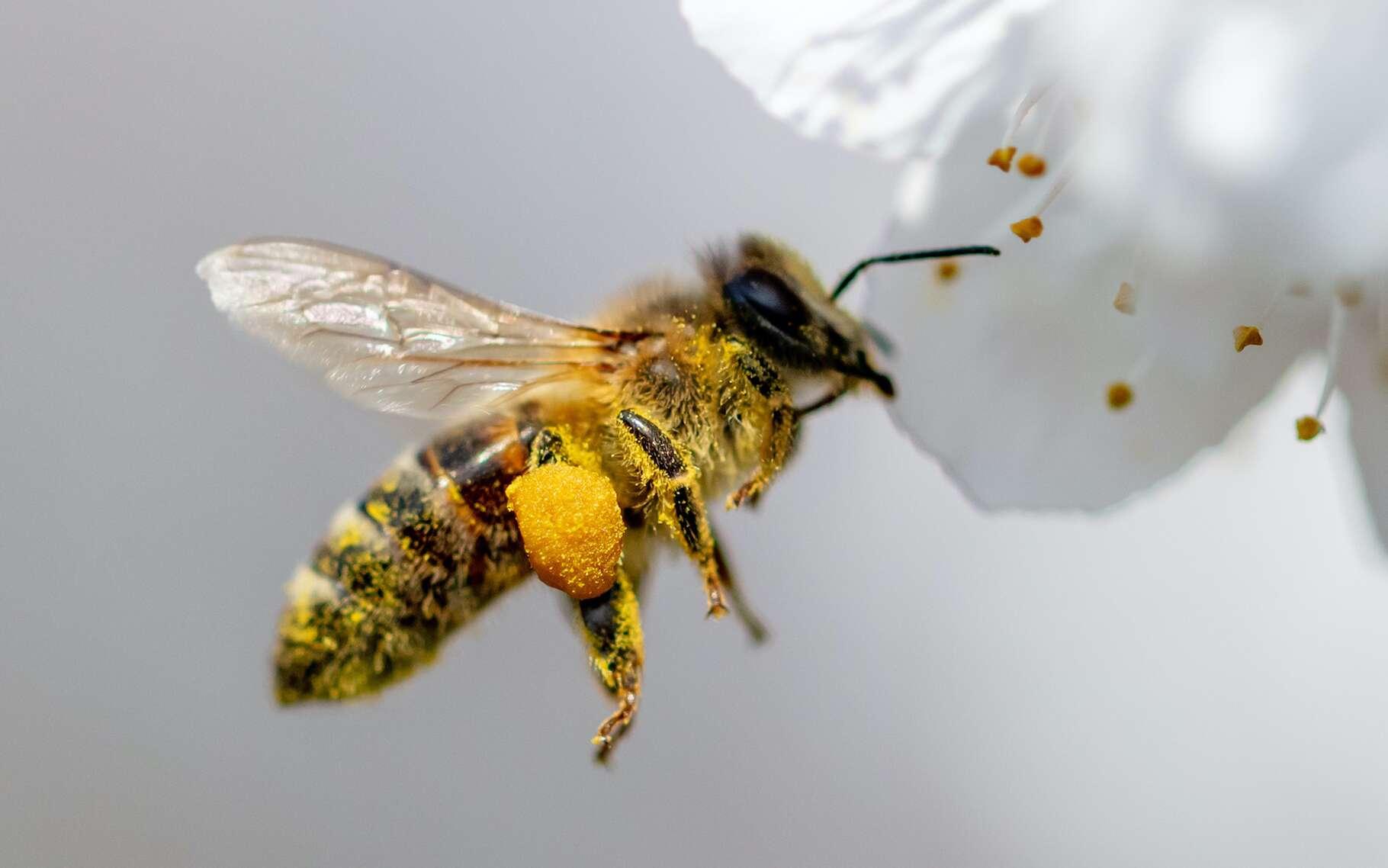 La plupart des cultures dépendent des abeilles pour leur pollinisation. © schankz, Adobe Stock