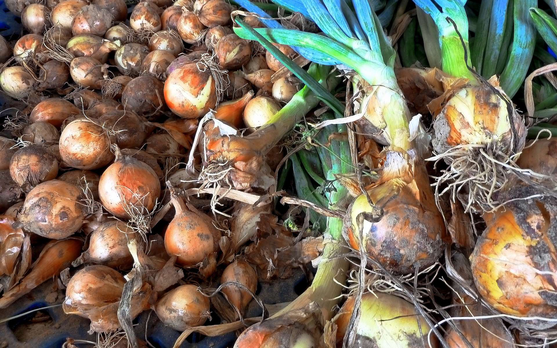 Les bulbilles d'oignons permettent de planter avec un mois d'avance. © F-Delventhal, Flickr