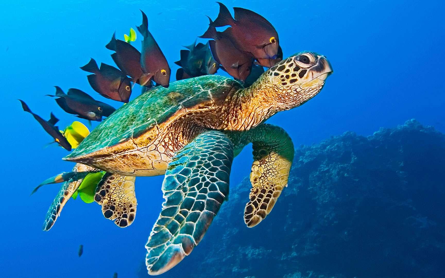 Une tortue de mer accompagnée de poissons. Cette tortue de mer est en bonne compagnie. © 3D Entertainment /Sarah Cima