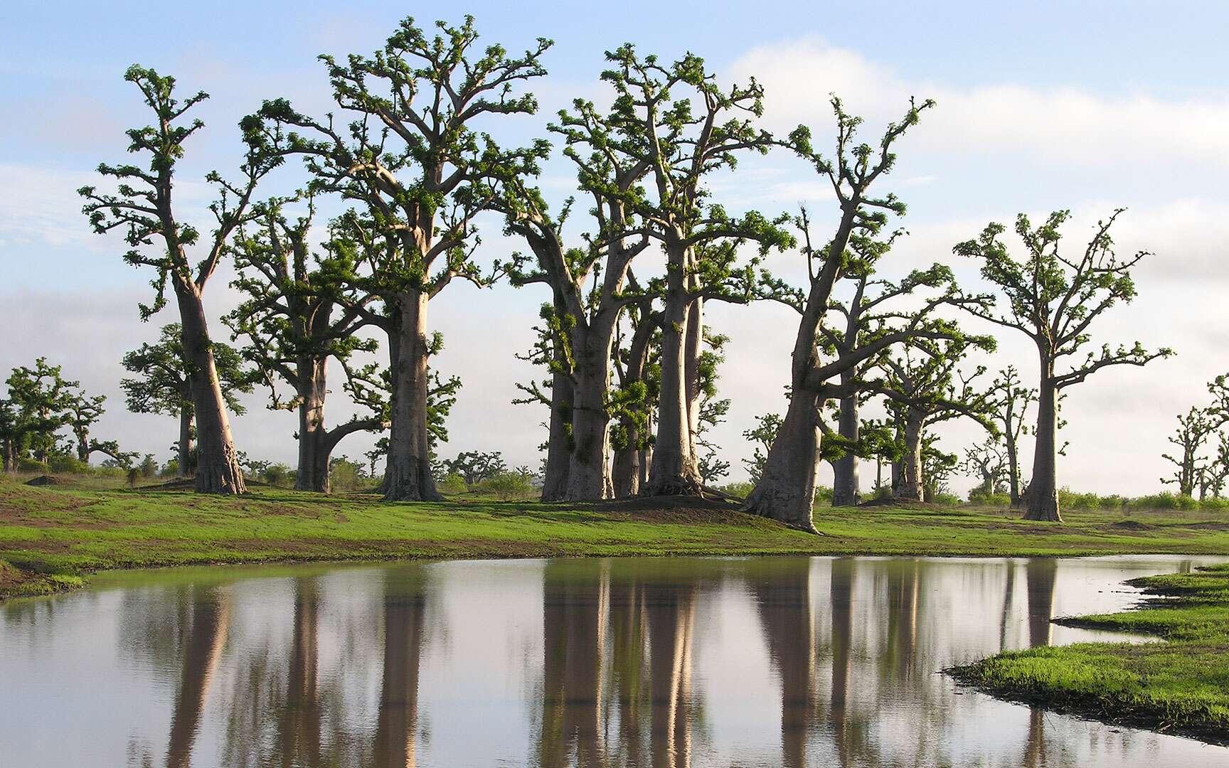 Baobabs dans un paysage de brousse. Dès les premières pluies, le paysage de brousse se reverdit pour quelques mois. Au Sénégal, la saison des pluies débute au mois de juin et s'étend généralement jusqu'au mois d'octobre. L'eau s'accumule rapidement dans les dépressions offrant un contraste assez saisissant avec les baobabs, souvent associés à des endroits arides. La saison des pluies correspond pour les baobabs au cycle de végétation avec la production de feuilles, de fleurs et de fruits qui se termine au mois de novembre, lorsque les fruits commencent à tomber. © Sébastien Garnaud Reproduction et utilisation interdites