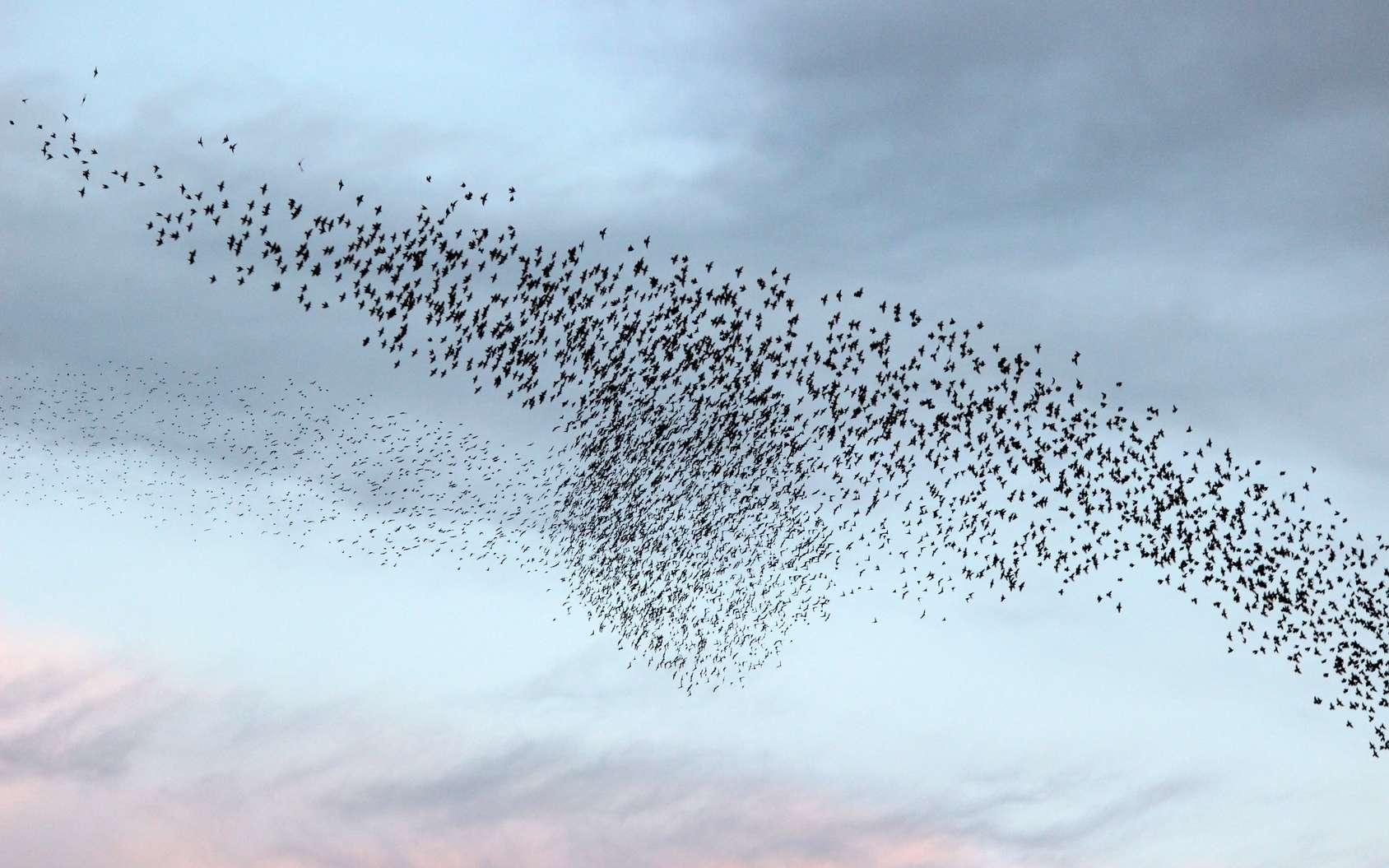 Les étourneaux se déplacent en nombre. © Jackin, fotolia
