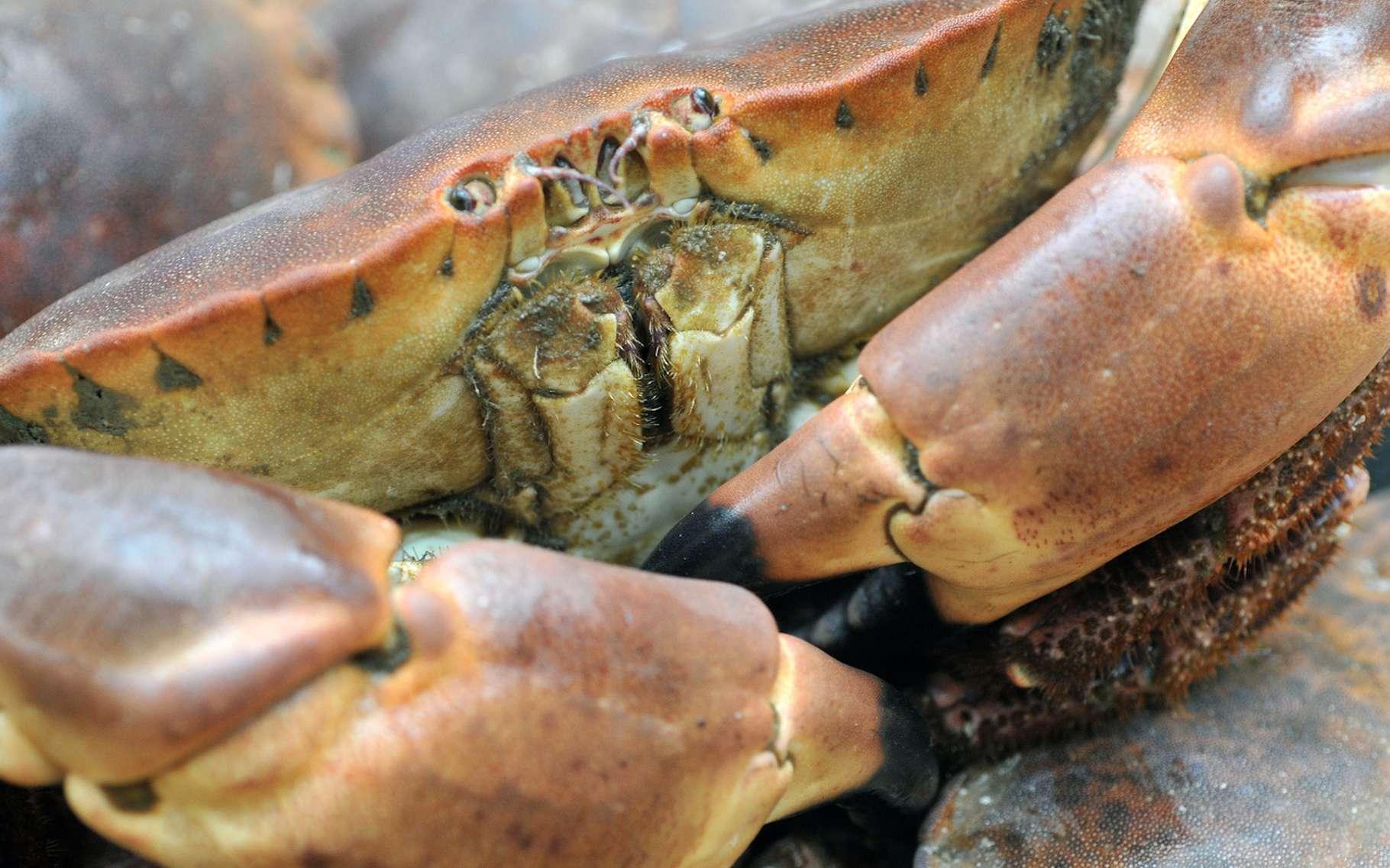 Tourteau et araignée de mer sont différents types de crabes. © Richard Villalon, Fotolia