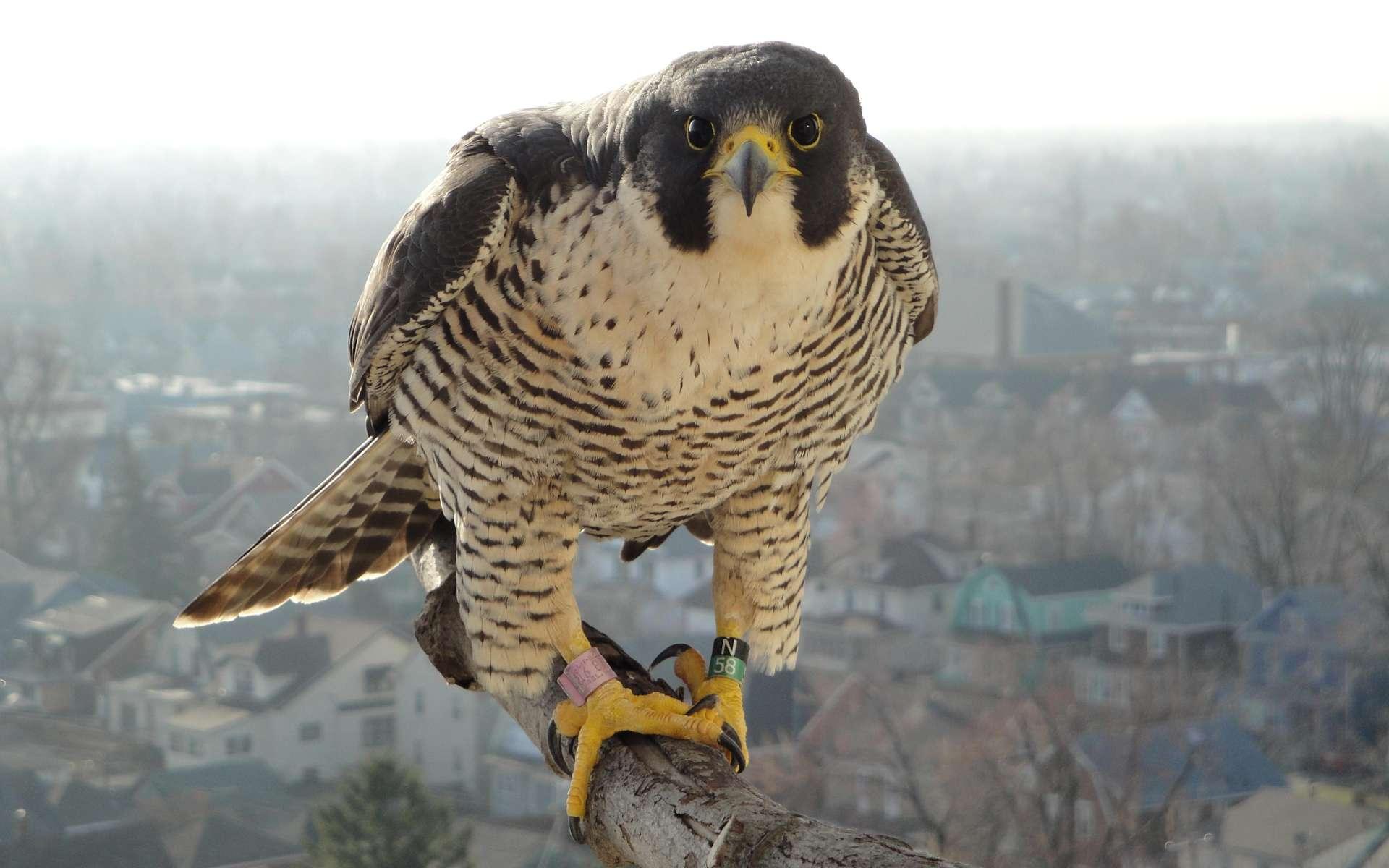 Ce résident du campus de l'Université de Buffalo surveille d'un œil inquisiteur le nid établi dans la tour Mackay. © University at Buffalo