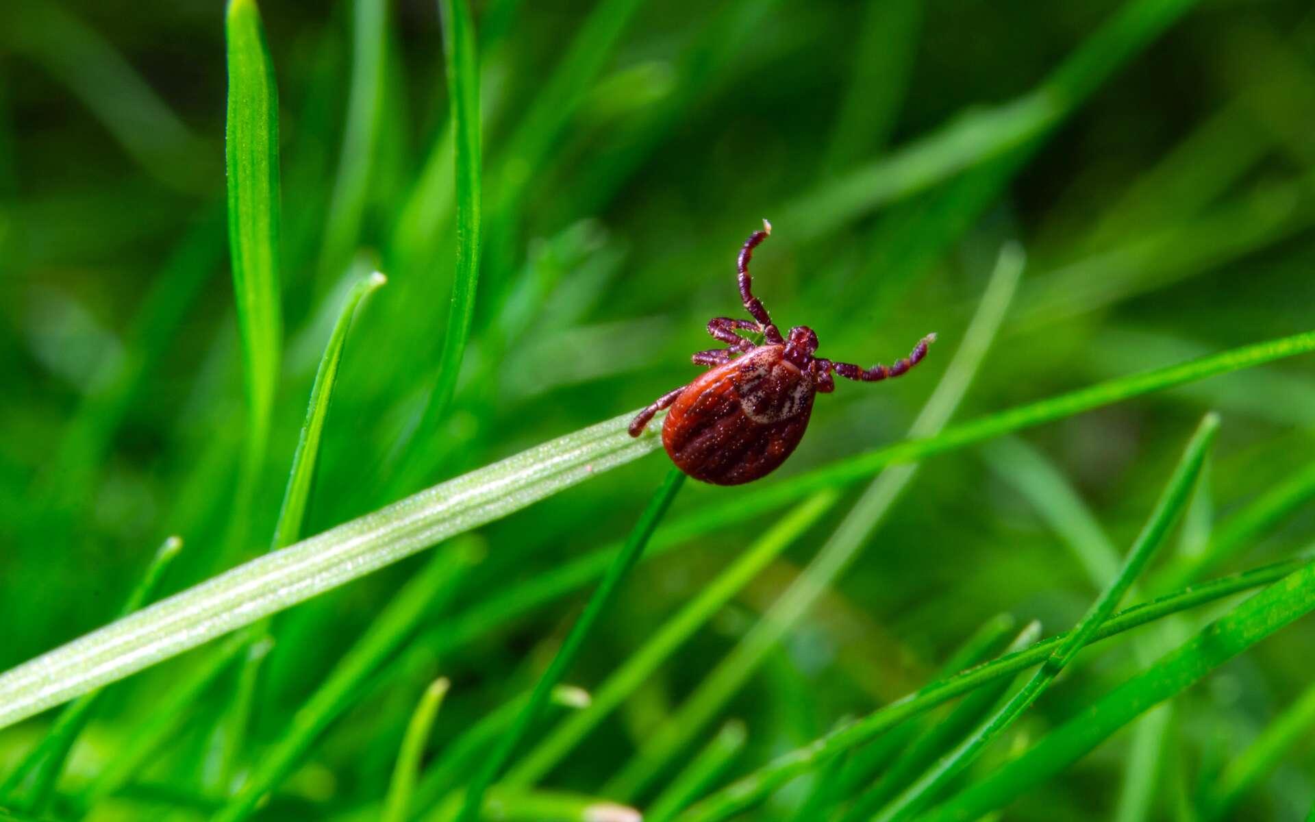 Une tique sur un brin d'herbe. © aleksandr, Adobe Stock