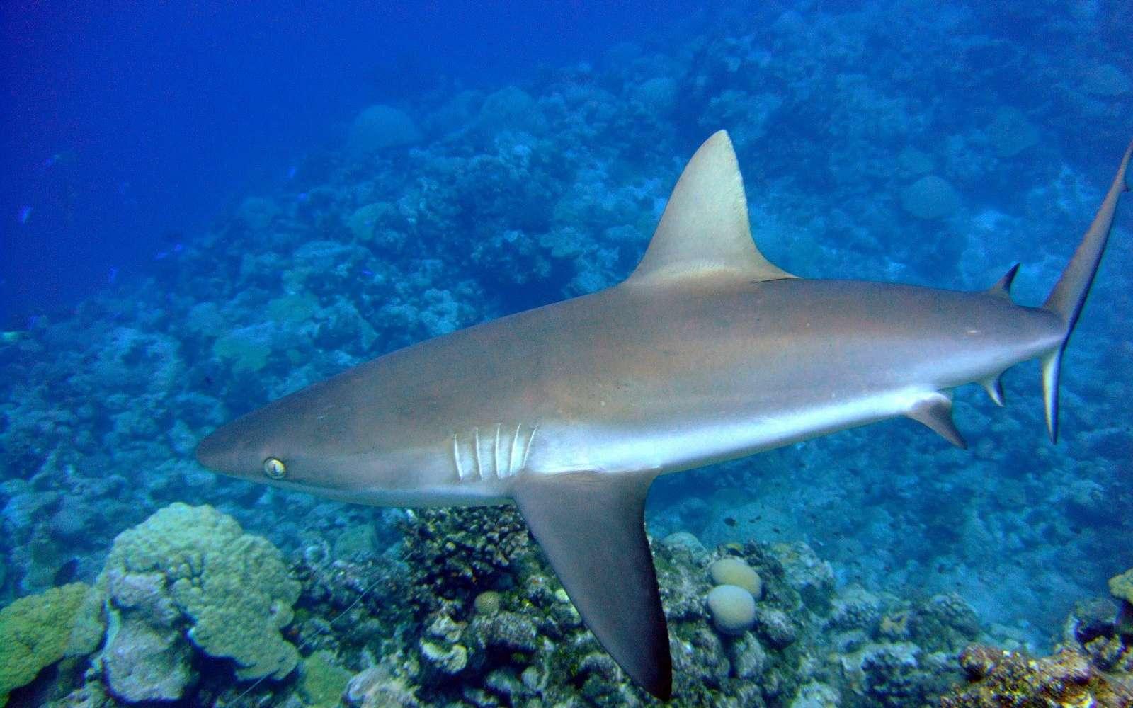 Dans certains récif coralliens, les requins sont si peu nombreux que leur population n'est plus à même d'assurer son rôle écologique dans les récifs coralliens. © NOAA