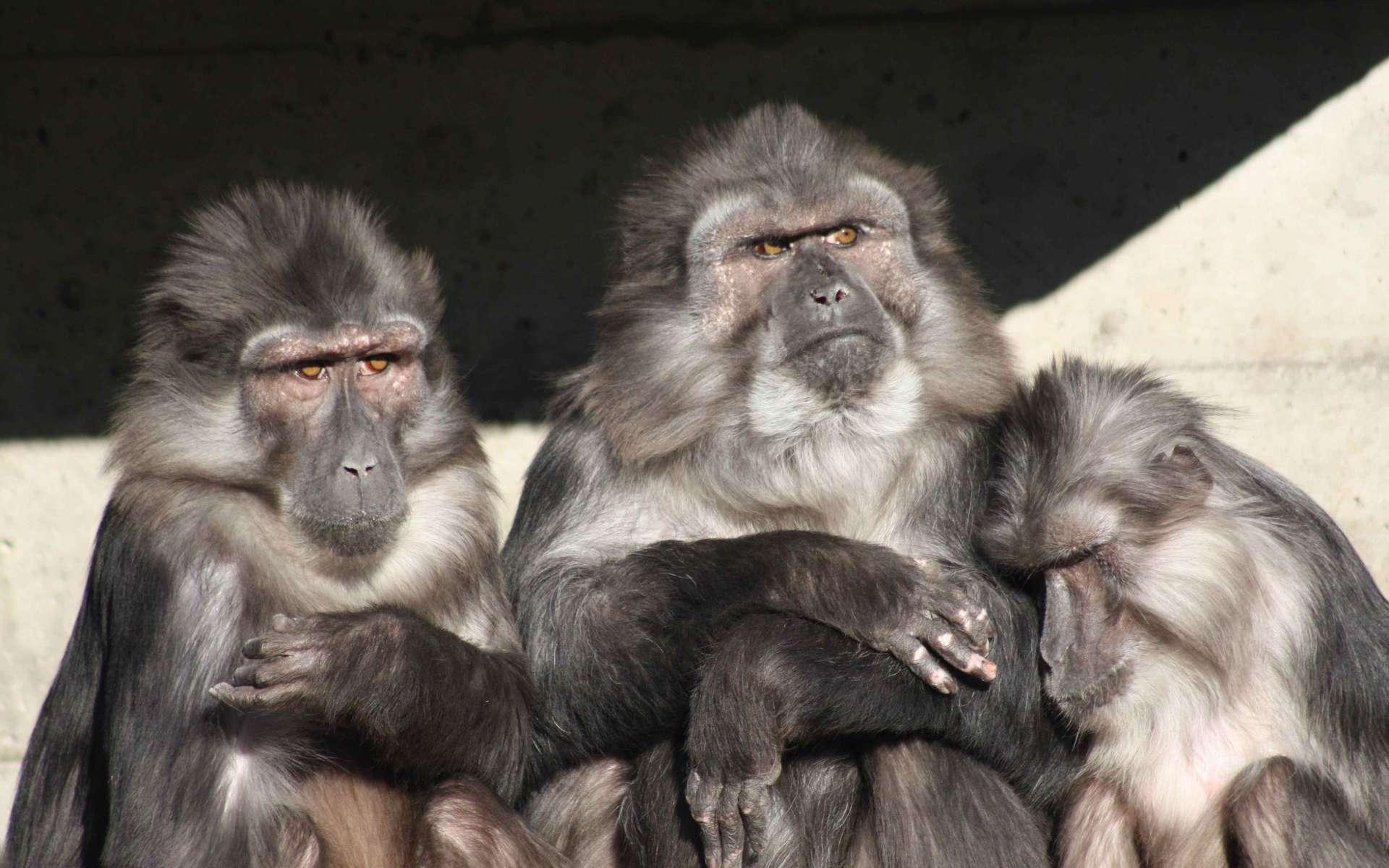 Photo de macaques de Tonkean. © Patrick Straub