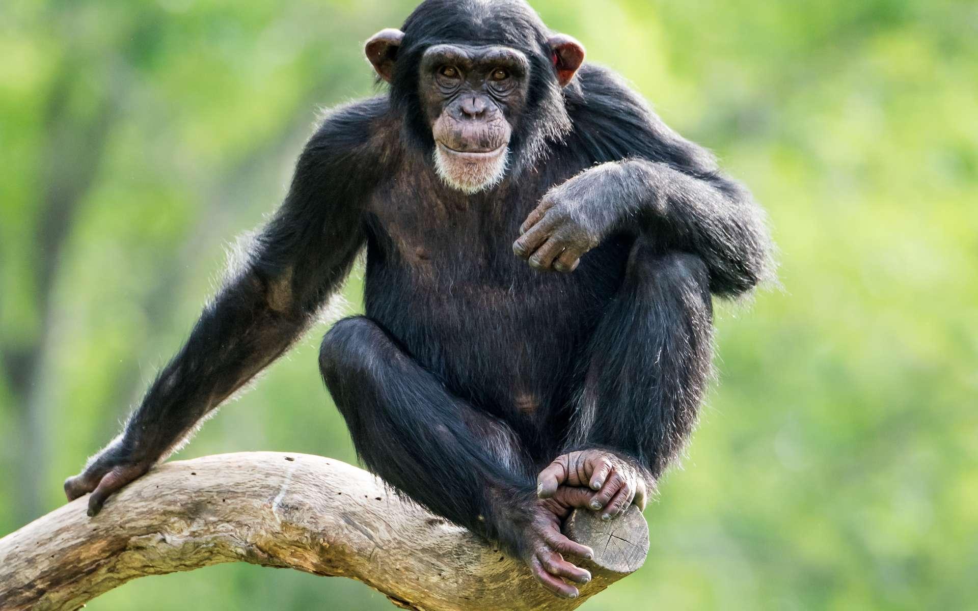 Les chimpanzés peuvent contracter la lèpre. © Abeselom Zerit, Adobe Stock