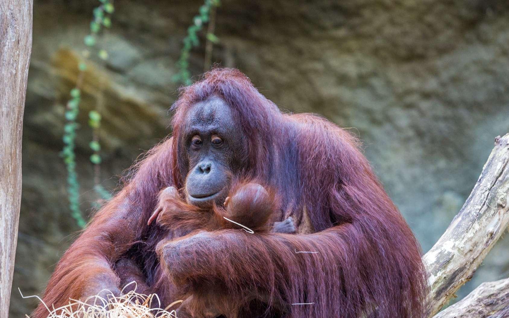 En raison de la déforestation et aussi du braconnage, les orangs-outans sont menacés d'extinction. © Angelika Bentin, Fotolia