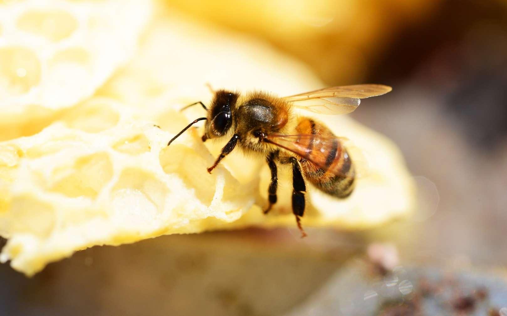 Des chercheurs ont appris à faire des calculs aux abeilles. © PxHere