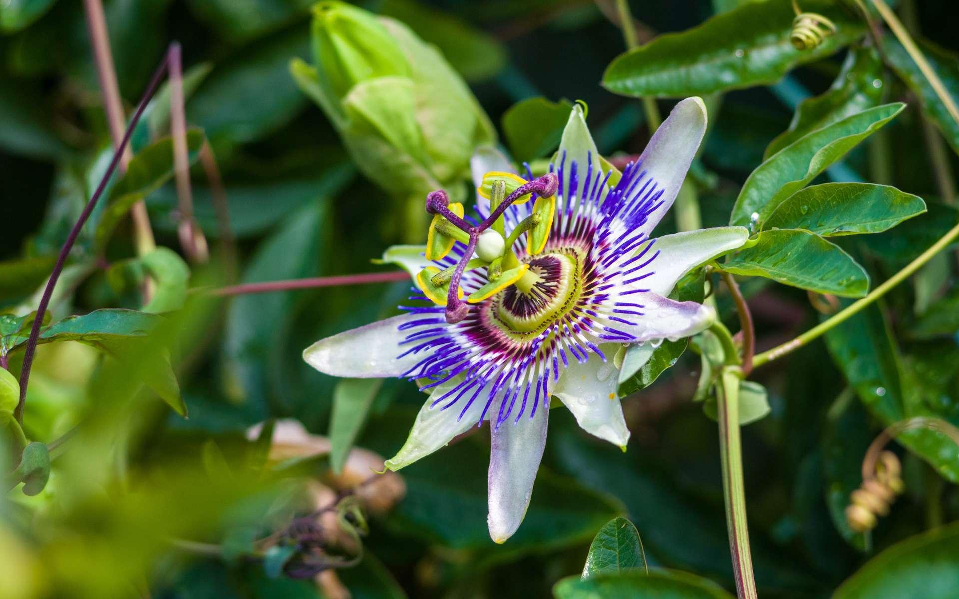 Fleur de la passion ou passiflore. Crédit : Wingedbull, Adobe Stock