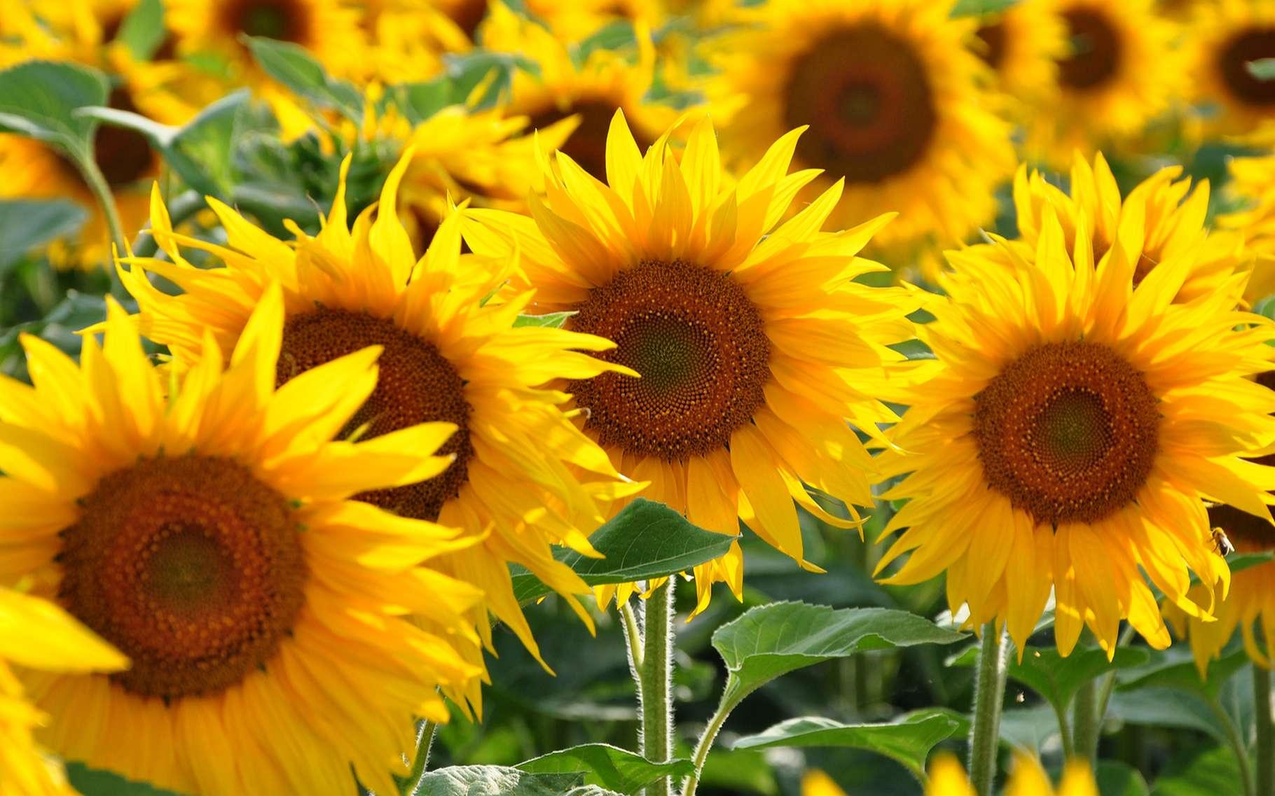 La culture du tournesol est plus sensible à la qualité du sol qu'à la qualité des engrais. © salajean, Shutterstock