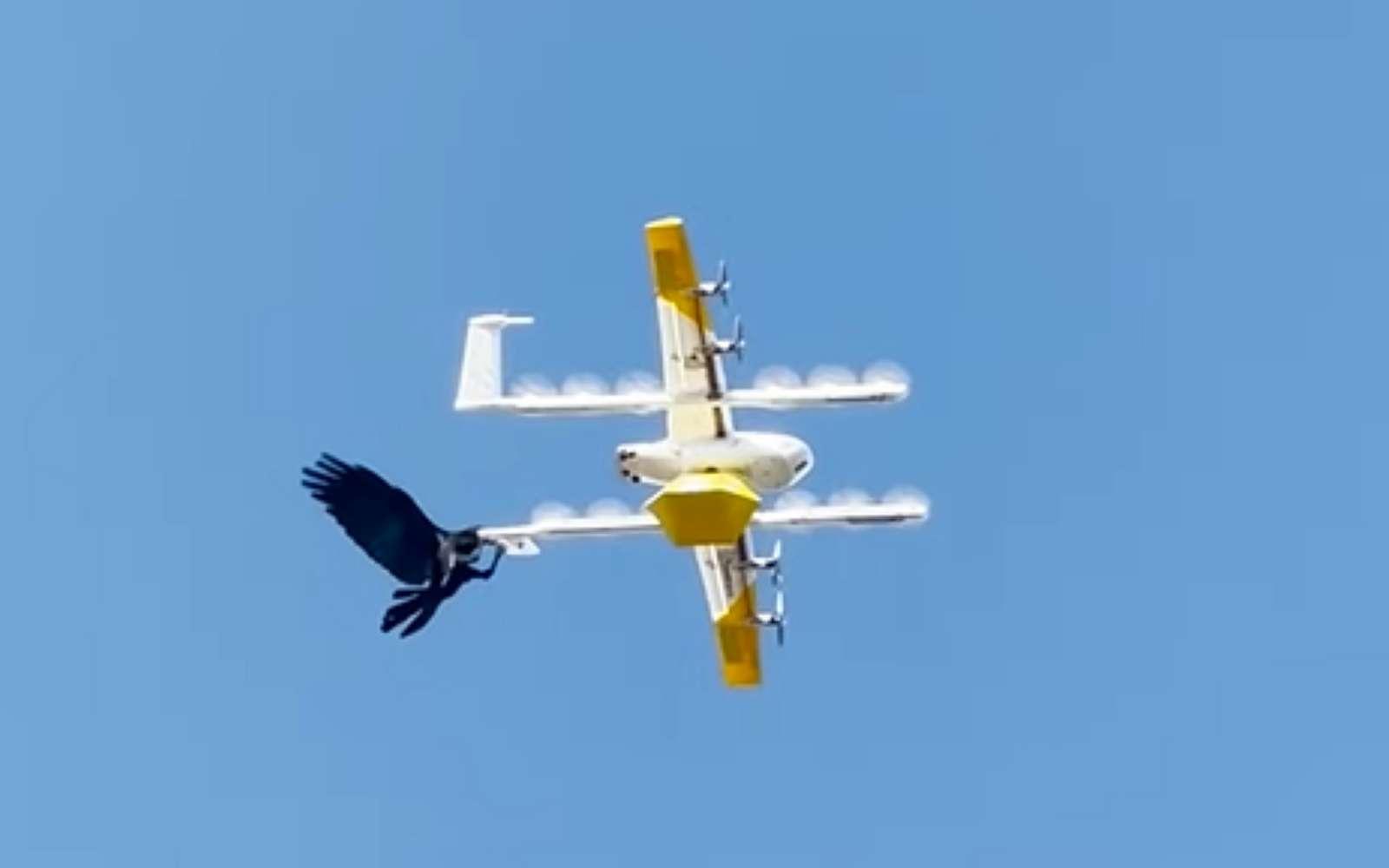Un corbeau fonçant sur les drones de livraison de Wing pour s'y agripper et le déstabiliser. © Ben Roberts
