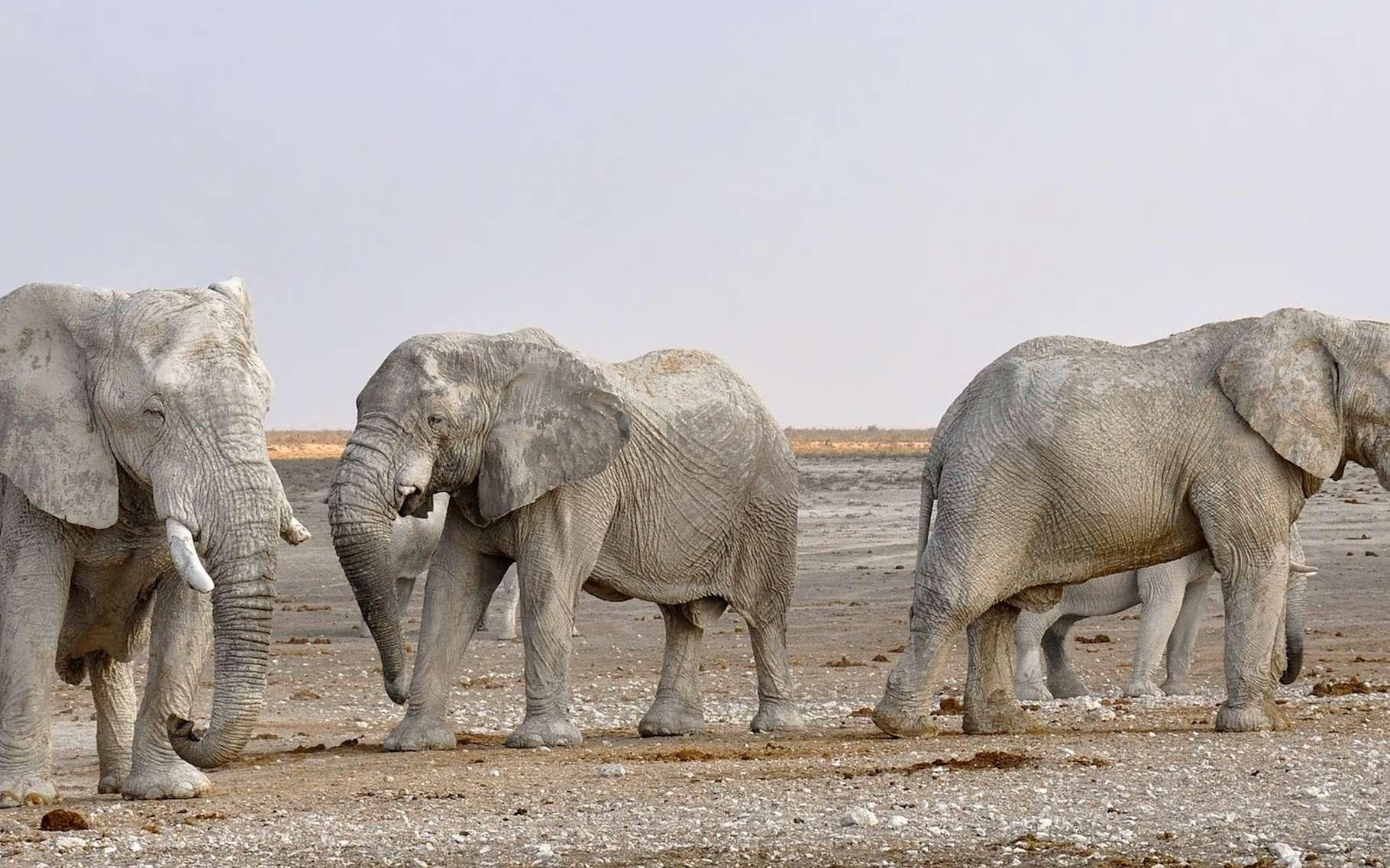 Ce qui permet de facilement différencier éléphant d'Afrique (ici en photo) et éléphant d'Asie, c'est la taille des oreilles, plus importantes pour les premiers. © kolibri5, Pixabay, CC0 Public Domain