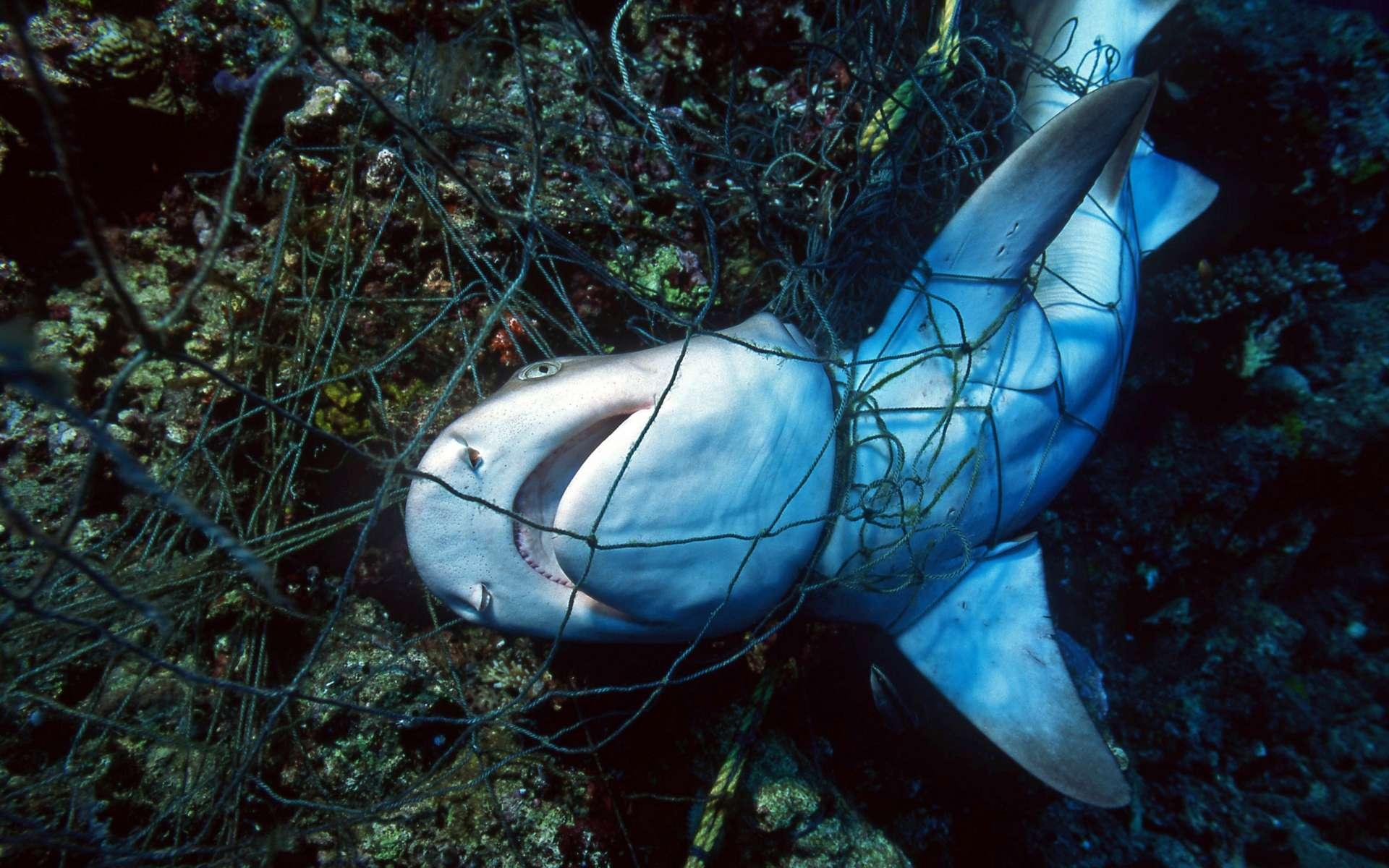 Les populations de requins et de raies déclinent en raison de la surpêche principalement en raison de la surpêche. © VisionDive, Adobe Stock