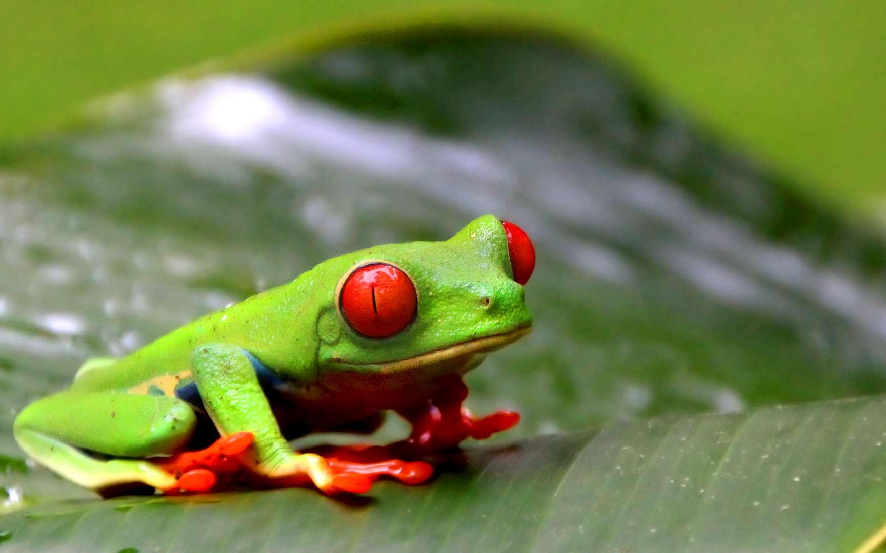 La sublime rainette aux yeux rouges. La rainette aux yeux rouges (Agalychnis callidryas) tire son nom de la couleur de ses yeux, dont les pupilles sont verticales. Elle vit la nuit et habite principalement la côte de la mer des Caraïbes. © yepyep, Flickr, CC by-nc-nd 2.0