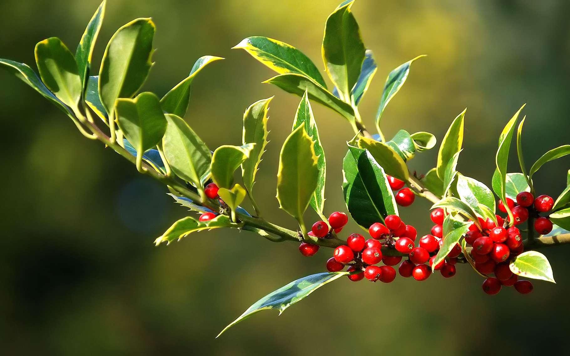 Le houx commun fait partie de la famille des aquifoliacées. © Ashley Dace-geograph.org CC by sa 2.0
