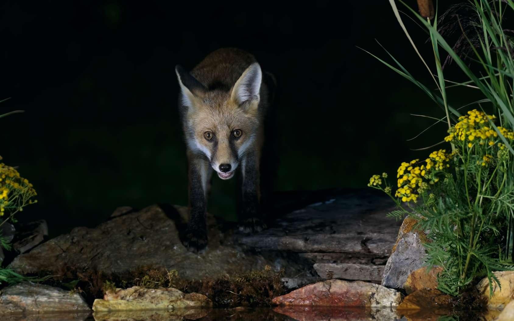 Certains animaux augmentent leur activité nocturne à cause de la présence humaine. © Simone, Fotolia