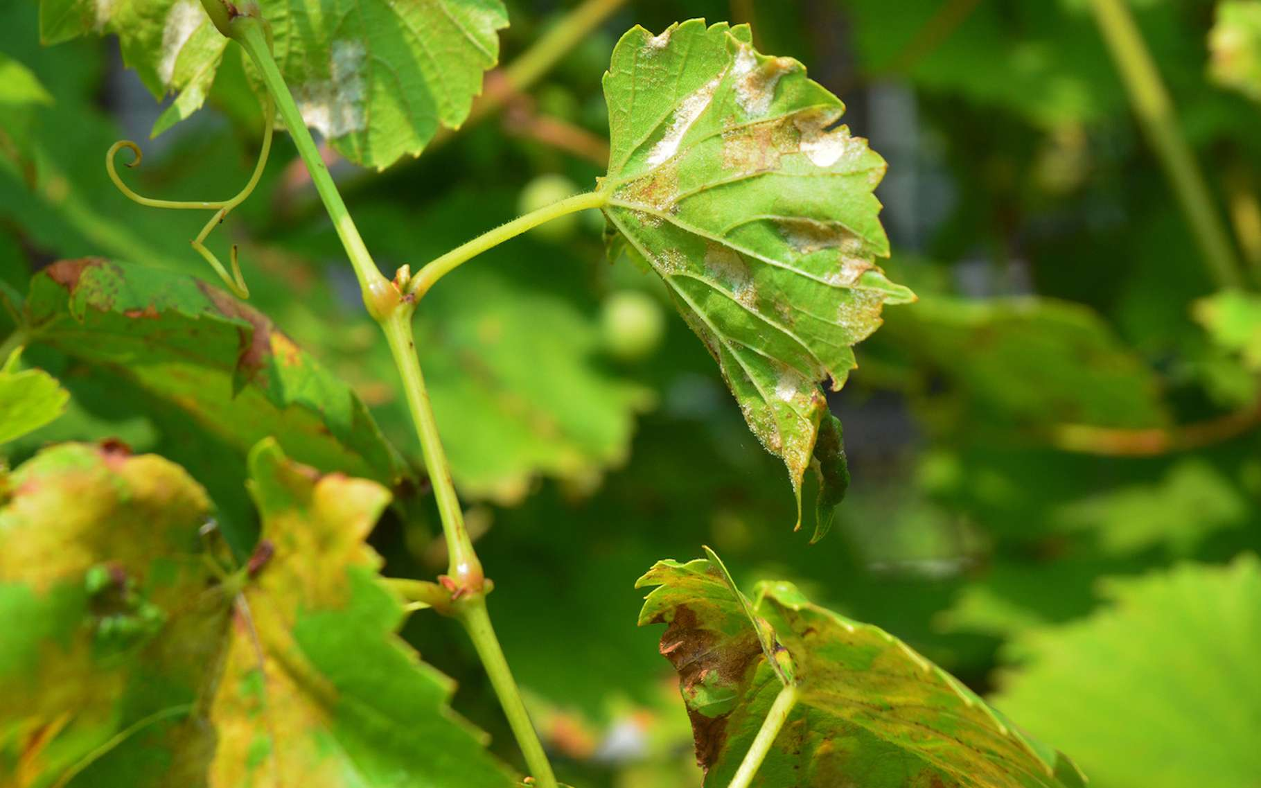 Le mildiou est une maladie qui atteint notamment la vigne. © bildlove, Fotolia