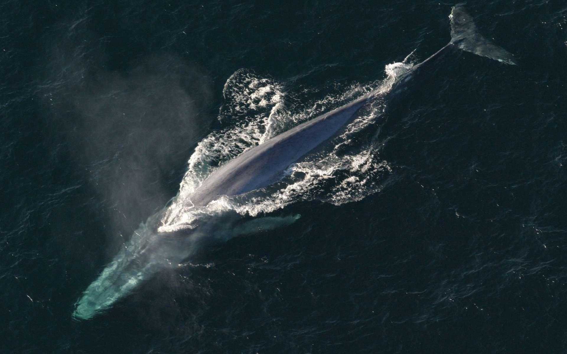 La baleine bleue est effectivement le plus gros animal du monde, mais pas le plus long. © PxHere