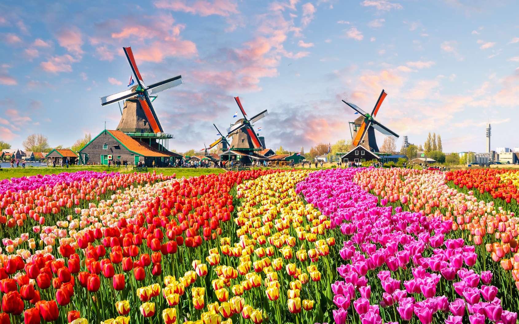 Paysage typique de la campagne néerlandaise avec son champ de tulipe et ses moulins à vent. © olenaznakk, Fotolia
