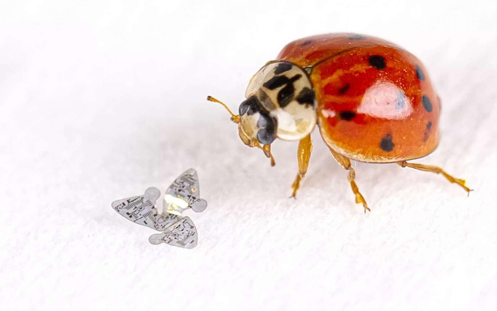 Voici un microflier à côté d'une coccinelle. L'insecte parait démesuré par rapport à l'aéronef. © Université de Northwestern
