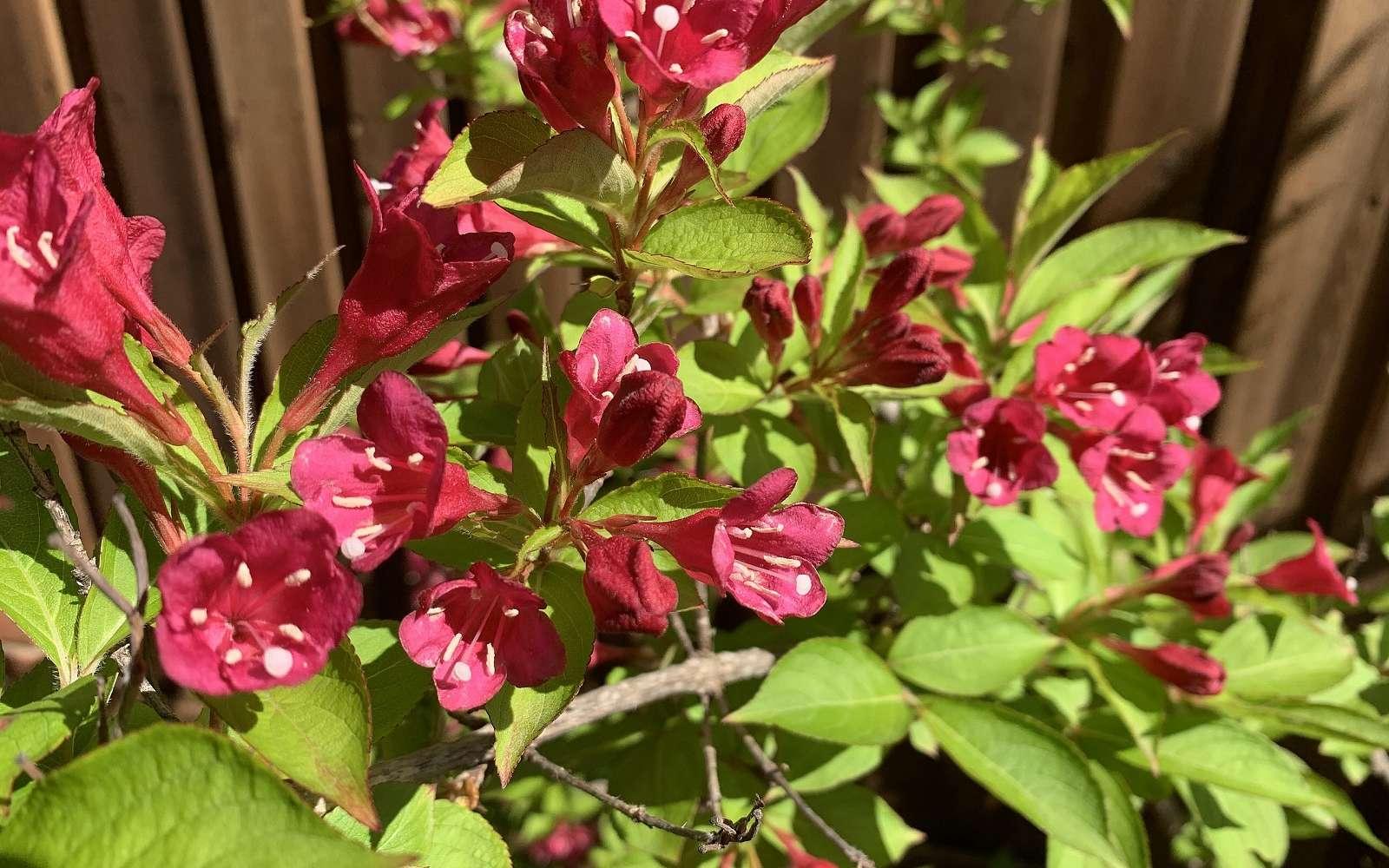 Floraison exceptionnelle du weigélia ! © Thadguidry, domaine public