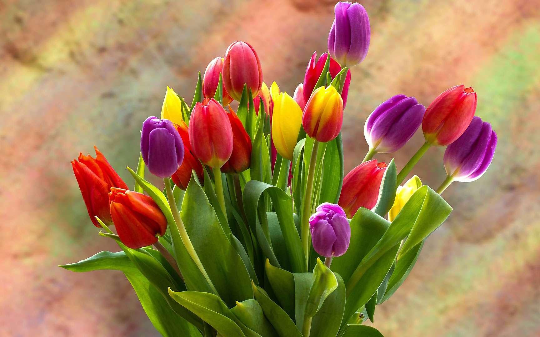 La tulipe, une bulbeuse raffinée. © Capri23auto, Pixabay, DP