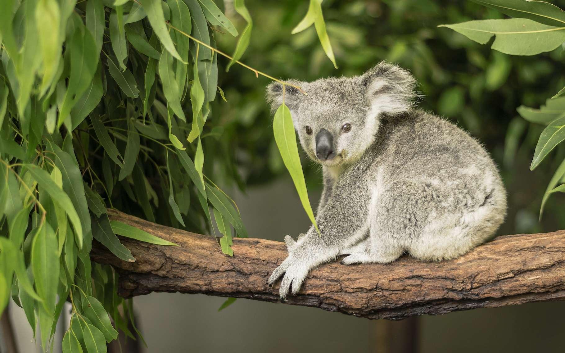 Des dizaines de koalas sont morts suite à la destruction d'une plantation d'eucalyptus dans le sud de l'Australie. Un drame dénoncé par des riverains. © robdowner, Adobe Stock