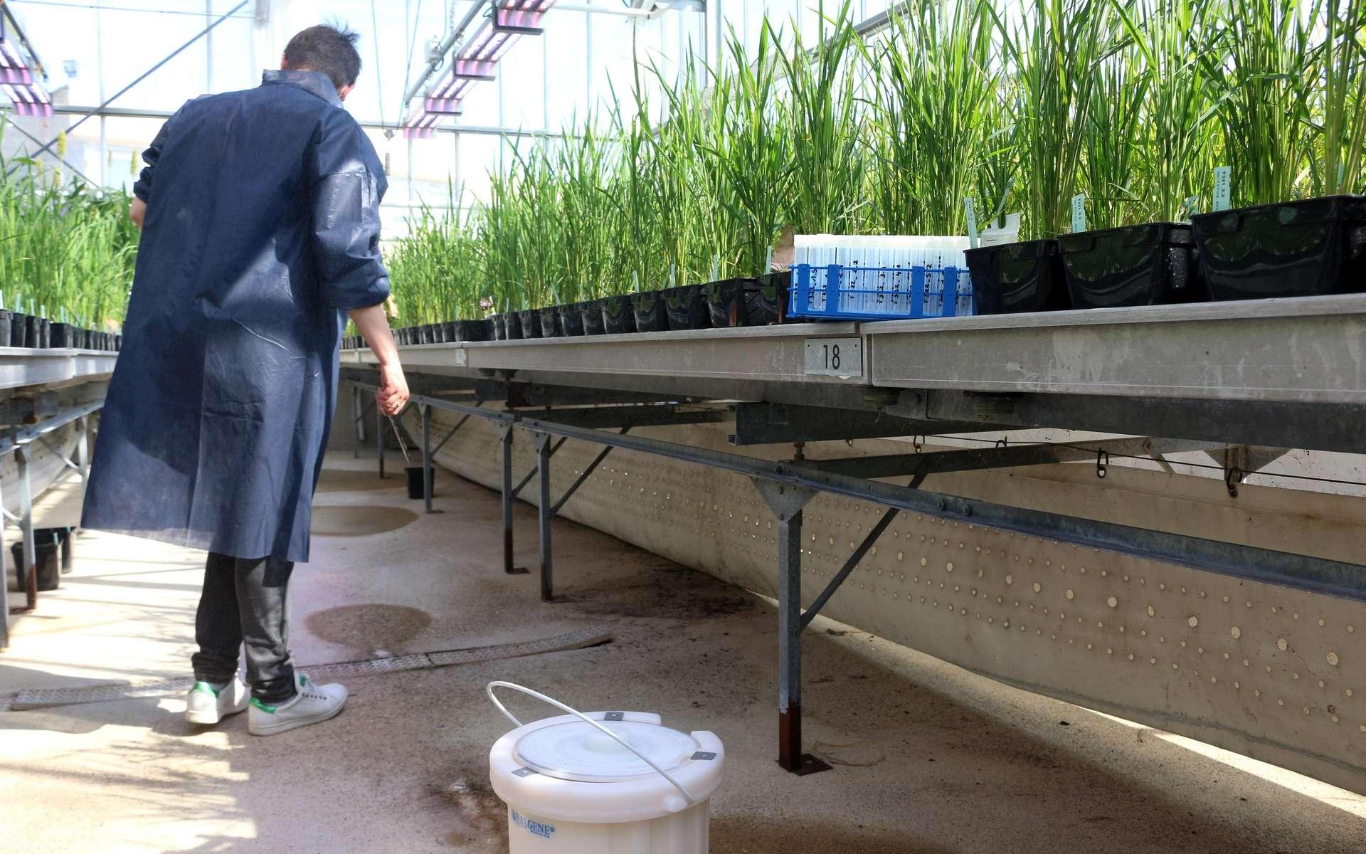 Le Cirad dispose de plusieurs serres permettant aux différentes équipes de mener des expériences sur plante entière. © Eléonore Solé