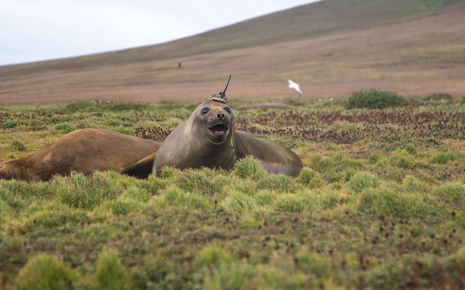 Éléphant de mer avec un dispositif de mesures aux îles Kerguelen. © Université de la Sorbonne, Étienne Pauthenet