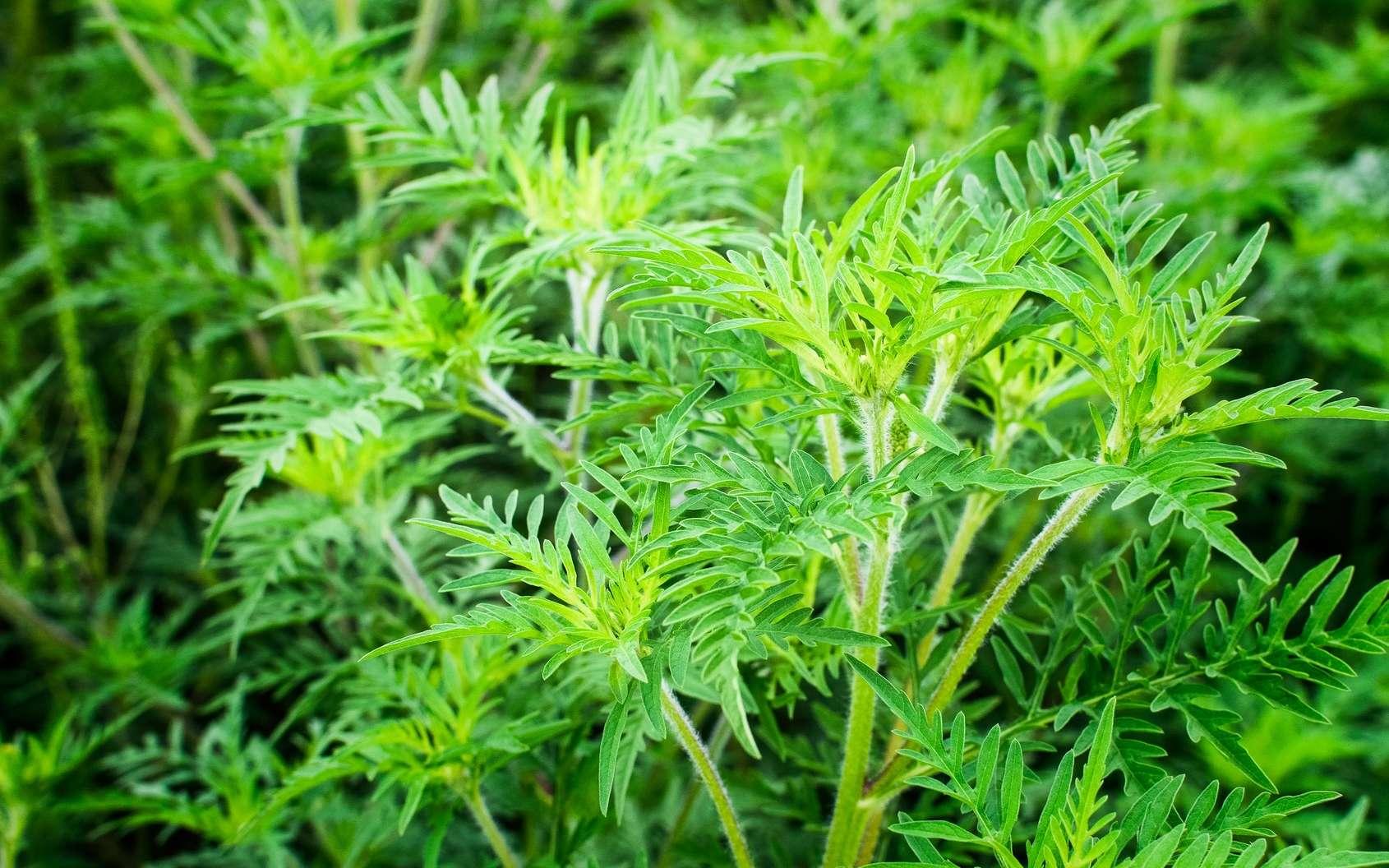 L'ambroisie est une plante annuelle avec des feuilles très découpée, souvent présente le long des routes. © Ewald Fröch, Fotolia
