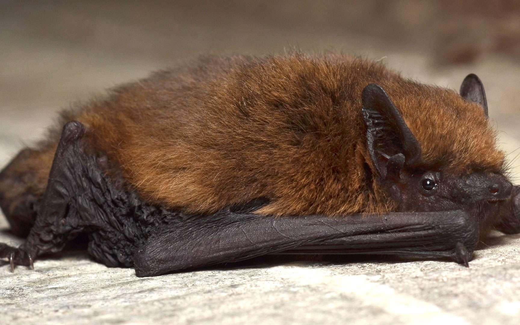 La pipistrelle commune — connue des spécialistes sous le nom de Pipistrellus pipistrellus — est une petite chauve-souris — elle pèse moins de 8 grammes — que l'on rencontre communément en Europe. Elle est notamment très répandue en France. Elle n'en reste pas moins une espèce protégée.Elle se nourrit de moustiques et de petits insectes nocturnes trouvés à proximité des points d'eau, des jardins… ou des lampadaires. Il parait qu'une seule pipistrelle peut capturer, grâce à un vol rapide et papillonnant, jusqu'à 600 insectes par heure de chasse. Elle aime ensuite se cacher dans les défauts des habitations humaines ou même dans les greniers ou derrière les volets. On la dit anthropophile. © Gilles San Martin, Wikimedia, CC by-sa 2.0