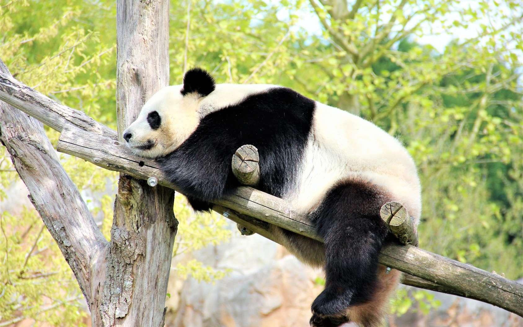 L'enclos des pandas du zoo de Beauval est parfaitement adapté à leurs besoins. © olivier, fotolia