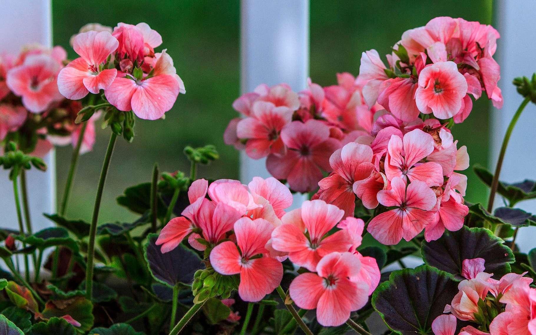 Les géraniums fleurissent nombre de balcons. © James De Mers, Pixabay, DP