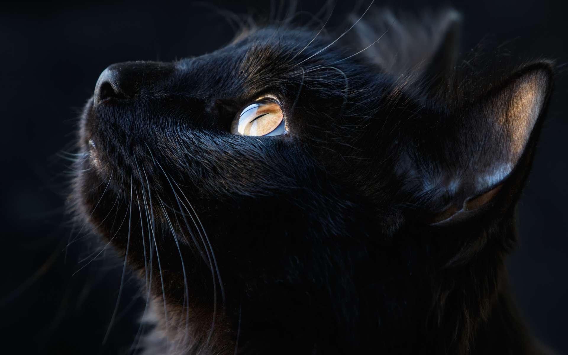 Portrait d'un chat noir. Le chat a une bonne vision dans l'obscurité. © fotogray71, Adobe Stock