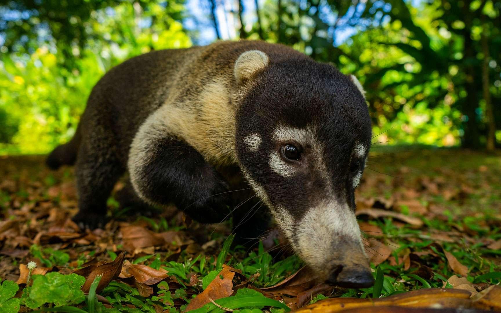 Le Coati à nez blanc, de la taille d'un très gros chatVivant principalement en Amérique centrale, le Coati à nez blanc (Nasua narica)est un petit mammifère diurne et omnivore, de la famille des ratons laveurs (les Procyonidés). Il a la taille d'un gros chat, d'un poids oscillant entre 3,7 et 7 kg, un masque facial blanc sur les yeux et un long museau qui lui sert à fouiller le sol à la recherche d'insecte. Les femelles vivent en groupe, avec leur progéniture, tandis que les mâles sont plutôt solitaires. Le coati dort en hauteur dans les arbres ; aussi agile qu'un écureuil, c'est un bon grimpeur curieux et intelligent qui se laisse approcher mais il est roublard et gourmand, Niklas Weber en a fait les frais alors qu'il guettait les colibris : « Une famille de coati est soudainement passée, ce petit gars était super méchant et a volé ma banane. » Il est souvent repéré aux abords des habitations, fouillant les poubelles.Niklas Weber © tous droits réservés