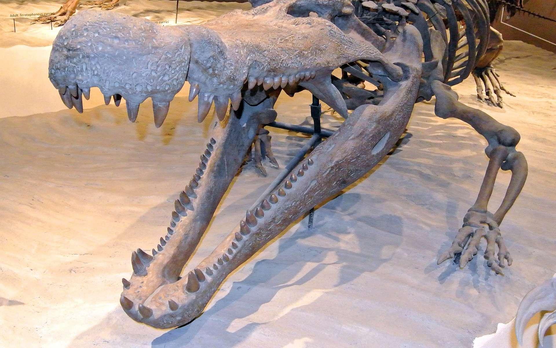 Un squelette de Deinosuchus hatcheri exposé au muséum d'histoire naturelle de l'Utah. © Domaine public