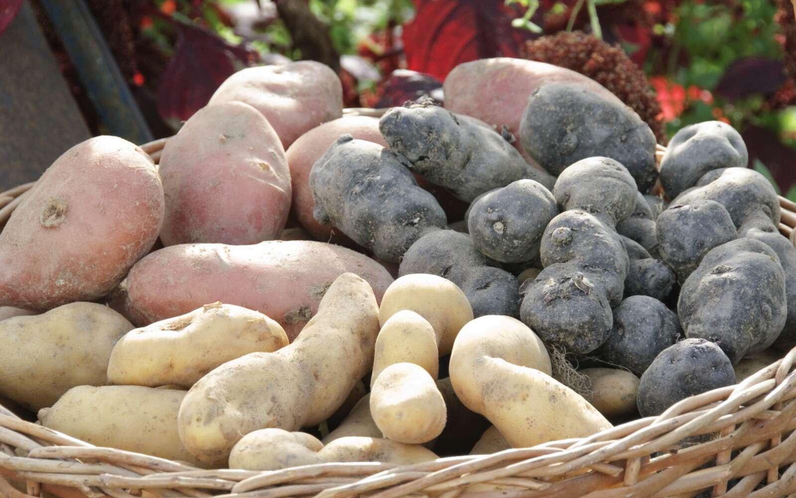 Pommes de terre 'Désirée', 'Vitelotte' et 'Ratte'. © F. Marre, Rustica