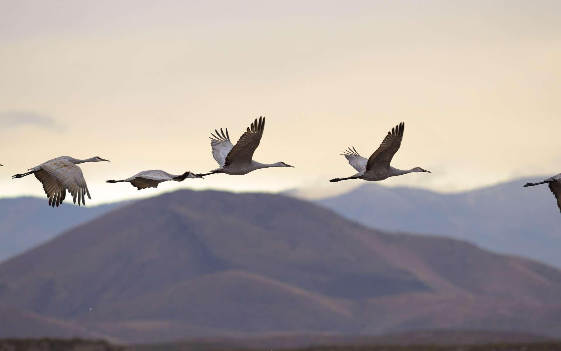 Si les oiseaux volent si haut et si loin, c'est en partie grâce à leurs poumons en boucle. © kojihirano, Adobe Stock
