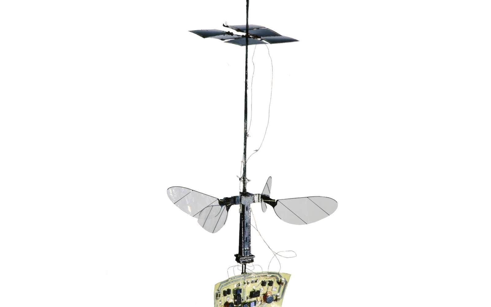 Pour la stabilité de l'insecte pendant son vol, les chercheurs ont opté pour quatre ailes disposées en croix. © Harvard