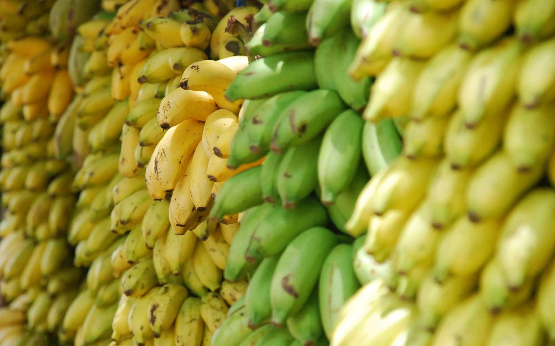 La banane fait partie des fruits climactériques, un fruit qui continue à mûrir après récolte. © Botte lohr, Unsplash