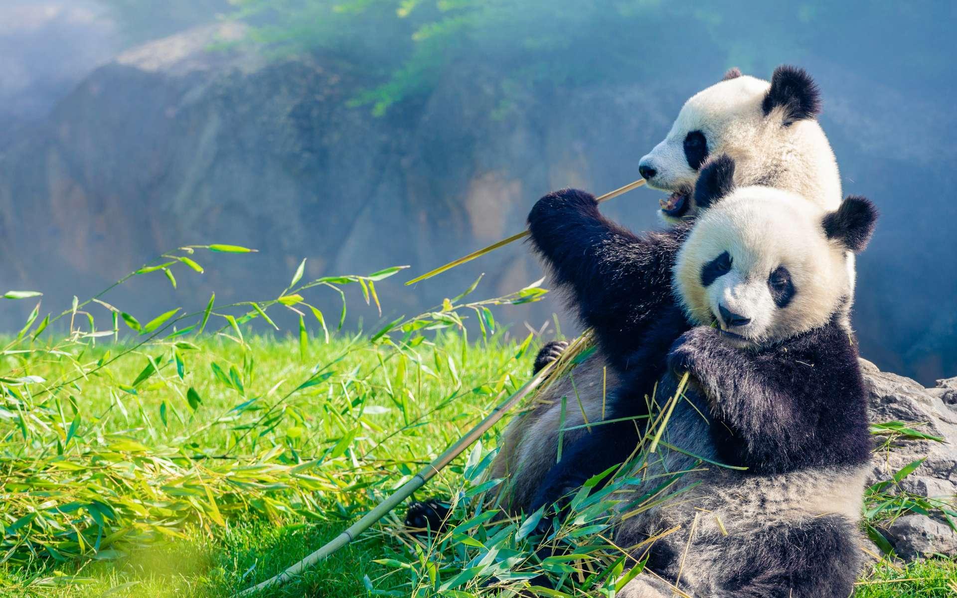 Huan Huan et Yuan Meng mangeant du bambou au petit matin dans le ZooParc de Beauval. © Daniel X D, Adobe Stock