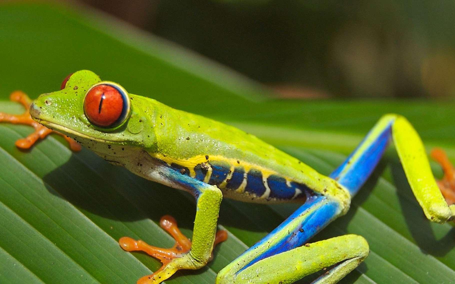 Agalychnis callidryas est plus connu sous le nom de rainette aux yeux rouges. Et à la voir en photo, on comprend tout de suite pourquoi. Même si son corps est parfois vert feuille, comme ici, et d'autres fois vert foncé, ses yeux sont toujours rouges, globuleux et avec une pupille verticale. Ils lui serviraient à se protéger des prédateurs. Au repos, ils sont en effet cachés par des paupières closes. Et peuvent effrayer les indésirables lorsque la grenouille ouvre subitement ses yeux.Mais les prédateurs de Agalychnis callidryas restent assez nombreux, malgré la présence également de substances toxiques sur sa peau. On la trouve surtout sur la côte de la mer des Caraïbes où elle peuple les forêts tropicales humides. © TpsDave, Pixabay, DP