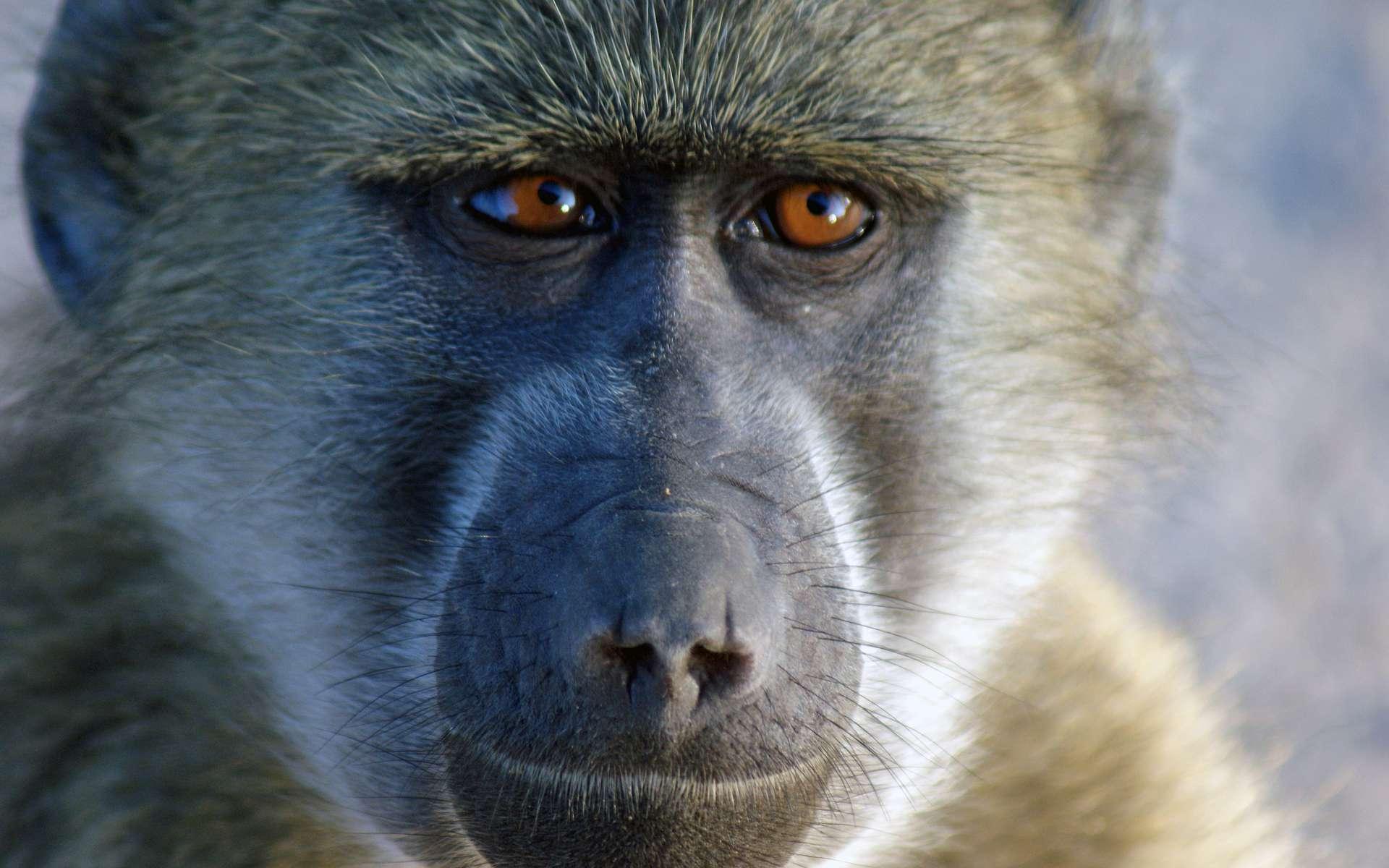 Les babouins forment des groupes sociaux d'une quarantaine d'individus en moyenne. Il est difficile de bien s'entendre avec tout ce petit monde. Pourtant, certains individus, qualifiés dans cette expérience de « gentils » sont capables de former des liens sociaux forts et étroits avec bon nombre de leurs congénères. Chez les primates non humains aussi, la personnalité est importante ! © Dave 2x, Fotopédia, cc by nd 2.0