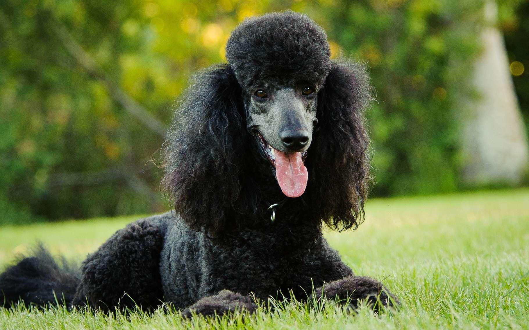 Le caniche est un chien élégant et intelligent. © everydoghasastory, Shutterstock